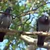 Les Pigeons du square